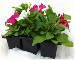 6 Pack Bedding Plants